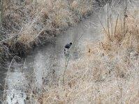 Blässhuhn auf dem zugefrorenem Zollteichwiesengraben