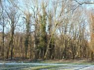 Efeubewachsene Bäume am Mühlgraben