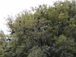 Kormorane auf ihrem Lieblingsbaum