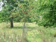 Schon junge Bäume tragen reiche Ernte
