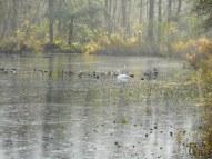 Enten und Schwäne auf fast zugefrorenem Teich