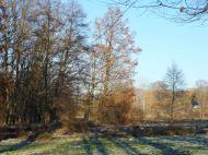 Sumpfzypresse am Mühlgraben