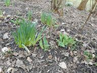 Osterglocken und Tulpen treiben schon